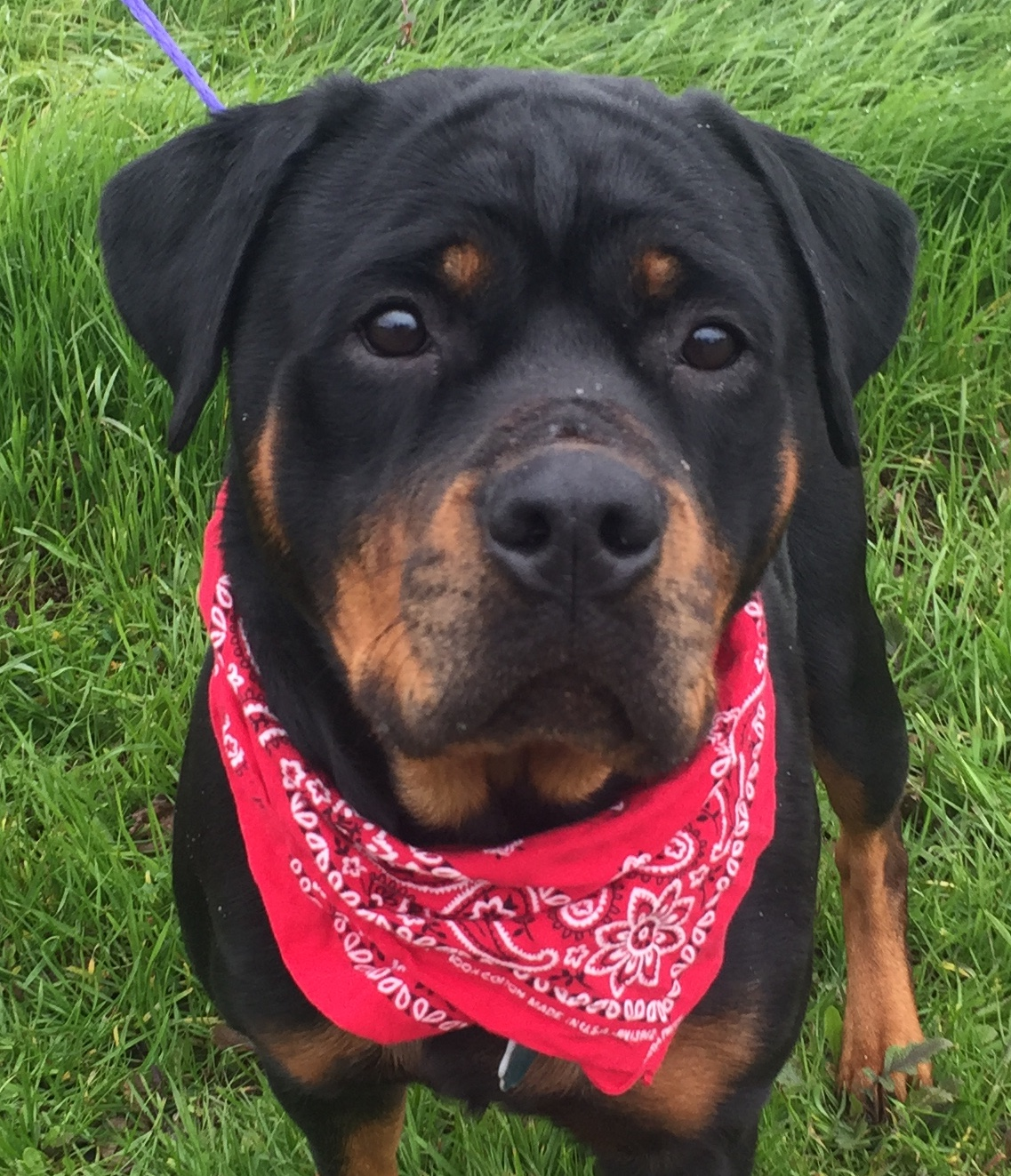 Rottweiler single owner